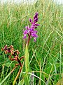 Orchis mascula, Early Purple Orchid - geograph.org.uk - 1303777.jpg