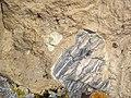 Orendite lamproite with xenoliths (Pleistocene, 1.30-1.37 Ma; Black Rock volcanic center, Leucite Hills, Wyoming, USA) 7 (48981507652).jpg