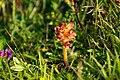 Orobanche gracilis Sm. 2.jpg