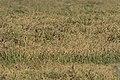 Oryza sativa - Asian rice, Mersin 2018-09-23 02.jpg