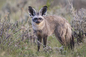 Bat-eared fox - Image: Otocyon megalotis Etosha 2014