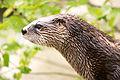 Otter Profile (17962452452).jpg