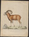 Ovis musimon - 1700-1880 - Print - Iconographia Zoologica - Special Collections University of Amsterdam - UBA01 IZ21300097.tif