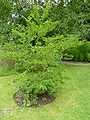 P1000699 Styrax japonica (Styracaceae) Plant.JPG