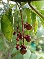PB159652 Trichostigma octandrum (Petiveriaceae).jpg