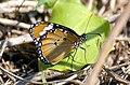 PICT0180 Lombok Island Danaus Chrysippus Chrysippus Femelle (5404889502).jpg