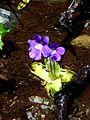 PINGUICULA GRANDIFLORA - LLADORRE - IB-730 (Viola d'aigua).JPG