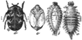 PSM V76 D223 Carpet beetle and its stages of development.png