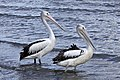 P for Pelican at Shorncliffe-3 (6510274995).jpg