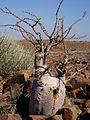 Pachypodium lealii 1.jpg