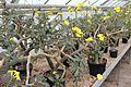 Pachypodium rosulatum pm.jpg