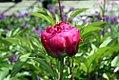 Paeonia lactiflora Karl Rosenfield 0zz.jpg