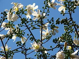 lindas flores de paineira branca