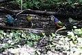 Painted Bunting, Worm-eating Warbler, Tennessee Warbler, Indigo Bunting (bathing) Boy Scout Woods High Island TX 2018-04-11 12-40-05 (41800572321).jpg