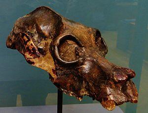 Palaeopropithecus - P. maximus skull
