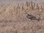Pallid Harrier Female (1).jpg