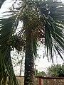 Palm kennel fruit.jpg
