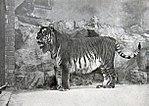 P. tigris virgata (estinta)