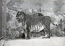 Panthera tigris virgata.jpg