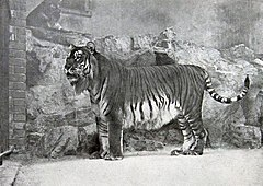 Tigre-do-cáspio no zoo de Berlim, em 1889.