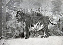 Tigre-do-cáspio no zoo de Berlim, em 1899.