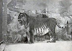 Kaspischer Tiger im Jahr 1899 im Zoologischen Garten Berlin