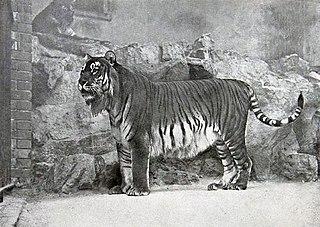 Caspian tiger Extinct tiger population