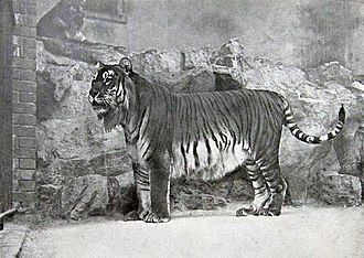 Caspian tiger - Tiger from the Caucasus in Berlin Zoo, 1899 It inhabited sparse forests and riverine corridors in this region until the 1970s. This population was assessed as extinct in 2003.