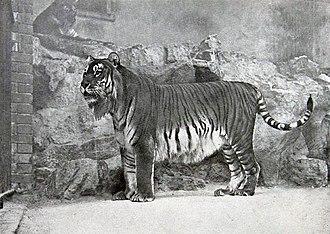 Caspian tiger - Image: Panthera tigris virgata