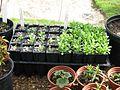Papaver commutatum and glaucum seedlings - Flickr - peganum.jpg