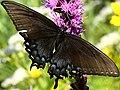 Papilio glaucus-female dark form.jpg