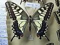 Papiliomachaonhippocrates.JPG