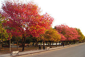 Formosa, Argentina - Lapachos in bloom at the Children's Paradise Park