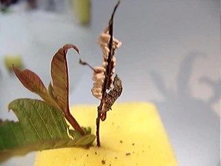 <i>Thyrinteina</i> genus of insects