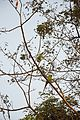 Parrot Pair - Kharagpur - West Midnapore 2015-01-24 4852.JPG