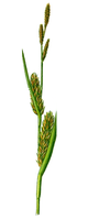Part of Carex hirta.PNG