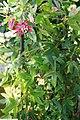 Passiflora Pura-Vida 3zz.jpg