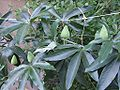 Passiflora caerulea - D7-06-0167.jpg
