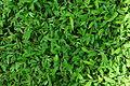 Patch of grass 01514.JPG