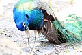 Pavo cristatus (Indian Peafowl) 32.jpg