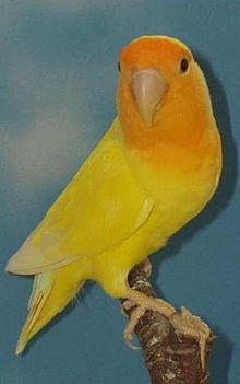 Yellow Peach Faced Lov...