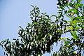 Peach Tree 9 2013-06-30.jpg