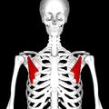 Pectoralis minor muscle frontal.png