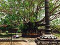 Peepal tree1.jpg