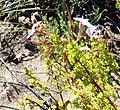 Pelargonium fruticosum Nicola van Berkel 3.jpg