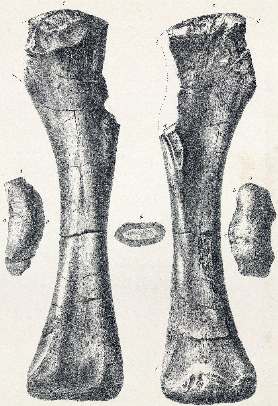 Pelorosaurus holotype