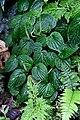 Peperomia sp. (Piperaceae) (30441172366).jpg