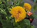Perennial sunflower 001.jpg
