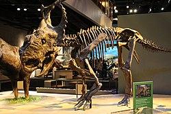 pachyrhinosaurus vs gorgosaurus  Perot Museum Pachyrhinosa...