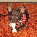 Perro Chihuahua.JPG